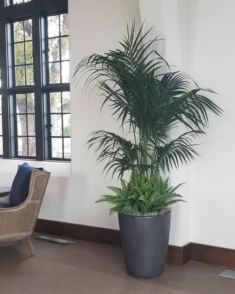 Kentia palm in clubhouse