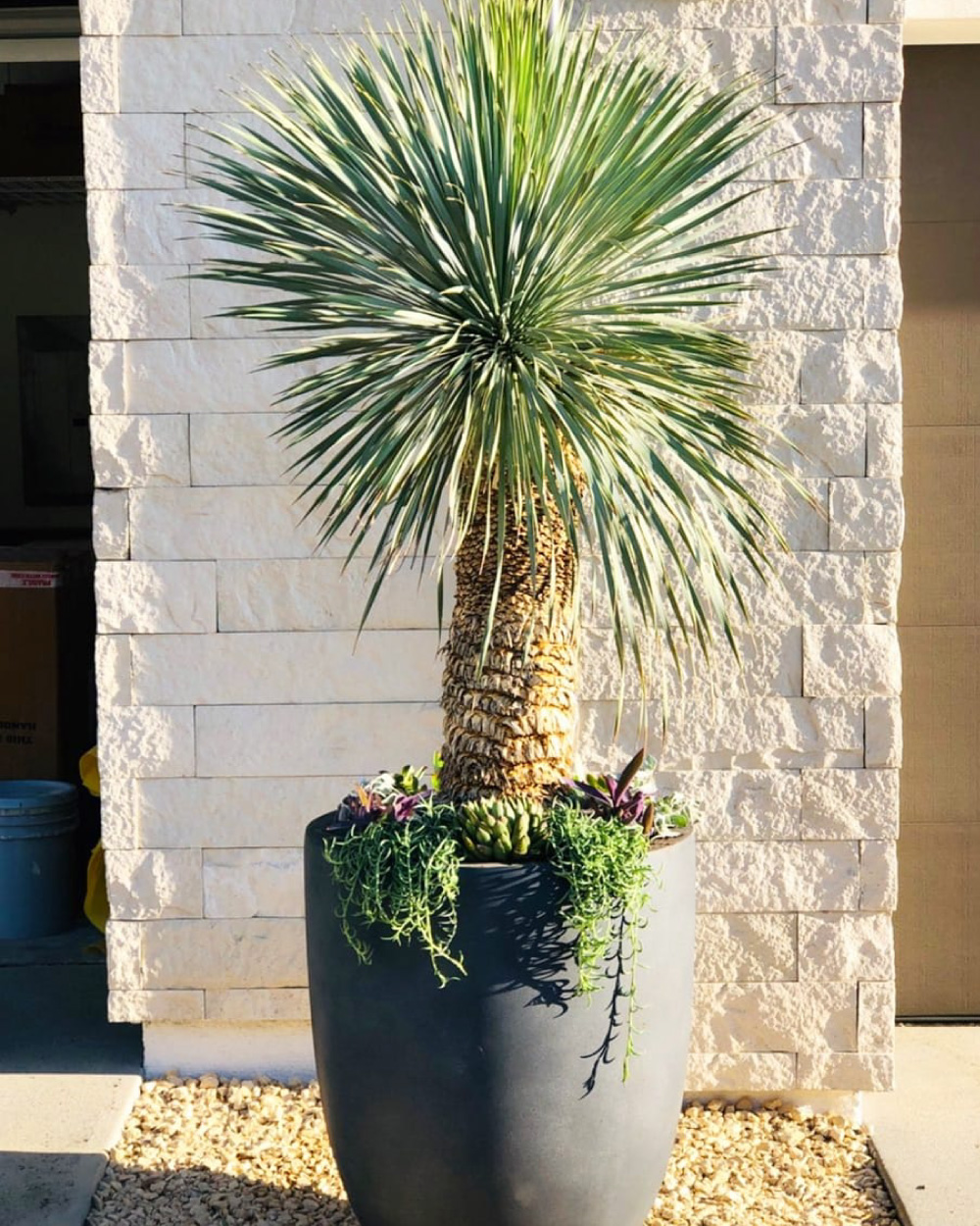 Yucca plant in pot against stone wall